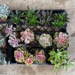 $3 Mix Varieties Succulent 4 Inch Pot for Sale in Huntington Beach, CA