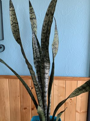 """Beautiful and elegant snake plant 33"""" Mother in law's tongue plant for Sale in Denver, CO"""