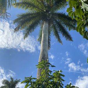 30 Foot Long Palm Tree FREE Must Remove By Professionals for Sale in Boca Raton, FL