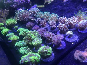 Coral Frags! Best prices around for Sale in Orlando, FL