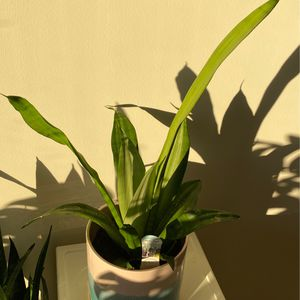 Snake Plant 🌱- Sansevieria and Pot for Sale in Philadelphia, PA