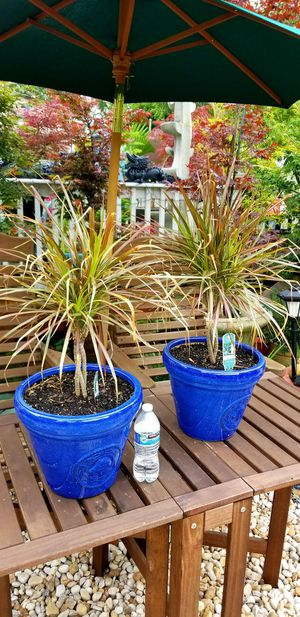 Dracaena plant, air purifier house plant for Sale in Lawrenceville, GA