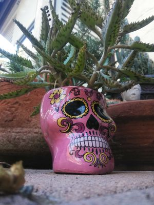 Sugar skull succulent mother of thousands for Sale in Fullerton, CA