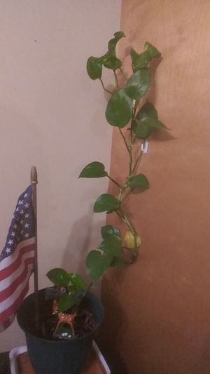 2 Vinel-Like Plants With Pots for Sale in Columbus, OH