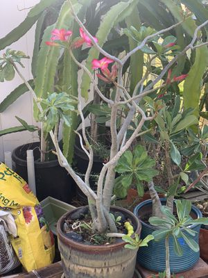 Desert Rose with pink flowers for Sale in HI, US
