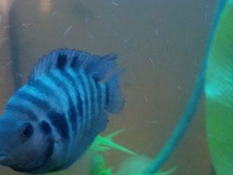 Fish Tank Cichlids for Sale in Silverado,  CA
