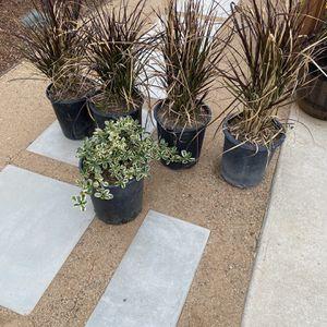 4 Fountain Grass & 1 Golden Euonymus Shrub for Sale in Alhambra, CA