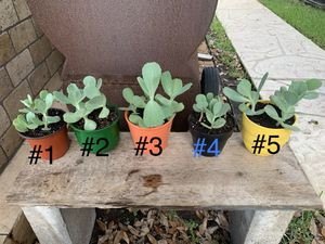 Spotted Penwiper Succulents for Sale in Cypress, TX