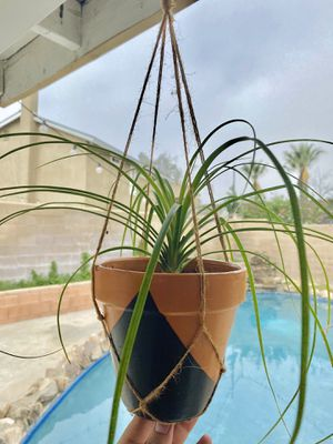 Hanging indoor ponytail palm for Sale in Ontario, CA