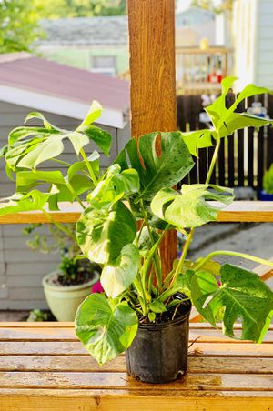 Live indoor Philodendron Monstera Deliciosa house plant in a temporary plastic planter flower pot—firm price for Sale in Seattle, WA