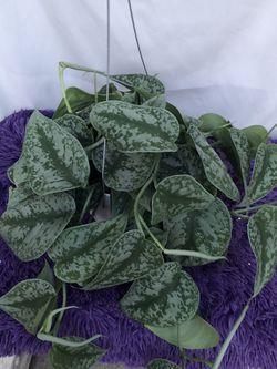 exotica pothos for Sale in Lynwood,  CA