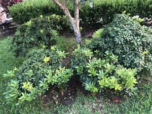 Shrubs for Sale in Channelview, TX