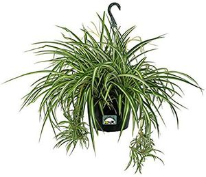 Spider Plants - 3 variegated healthy potted starter plants for Sale in Zellwood, FL