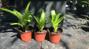 3 bromeliads plants for $10 for Sale in Orlando, FL