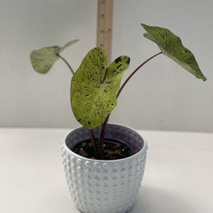 Colocasia Mojito Plant for Sale in Jacksonville, FL