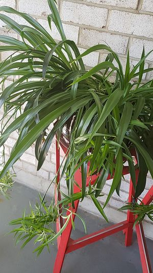 Baby Spider Plants Available for Sale in Rockville, MD