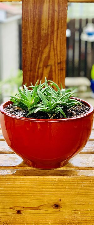 Live indoor Aloe Firebird hybrid succulent plant in a ceramic planter flower pot—firm price for Sale in Seattle, WA