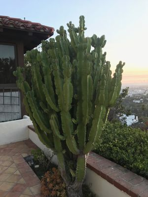 Cactus / Cacti / Succulent for Sale in Hollywood, CA