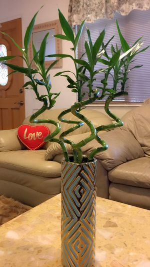 """Live BAMBOO - Lucky Bamboo - Almost 30"""" high total-$18 each vase for Sale in Garden Grove, CA"""