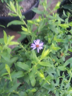 Fall aster ground cover for Sale in San Antonio, TX