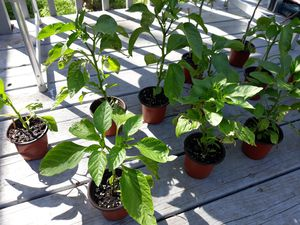 Hot Peppers and Tomatoes!!! $8 each for Sale in Irving, TX
