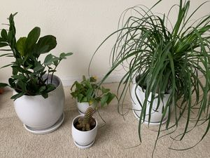 Beautiful healthy plants in crate and barrel planters for Sale in West McLean, VA