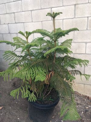 Tree/plant for Sale in West Carson, CA