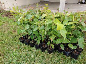 Eucalyptus trees for Sale in Bartow, FL