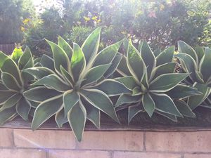 Agave plants for Sale in San Diego, CA