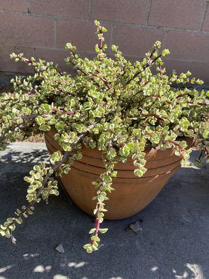 Succulent in clay pot for Sale in San Gabriel, CA