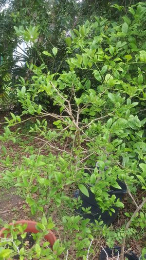 Lime trees and topiary for Sale in Eustis, FL