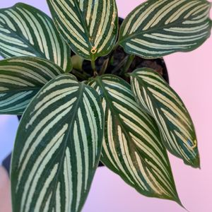 "Calathea Vittata 4"" for Sale in Orlando, FL"