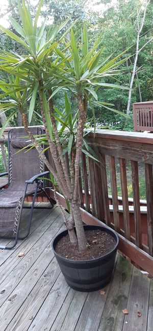 Real tropical house plant for Sale in MD CITY, MD