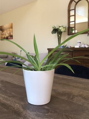 Live spider plant house plant for Sale in Lafayette, CO