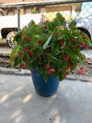 Big Begonia plant or Ala de angel for Sale in Fresno, CA