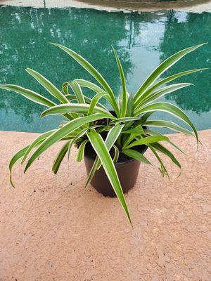 Spider house plants for Sale in Eustis, FL