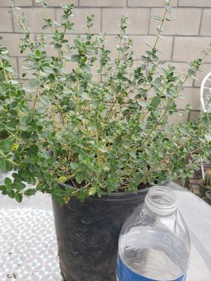 Thyme / Tomillo Plant for Sale in Garden Grove, CA