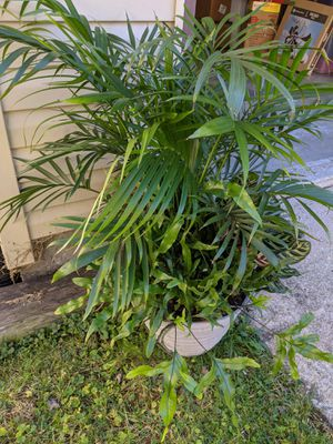 Large tropical plant for Sale in Weldon Spring, MO