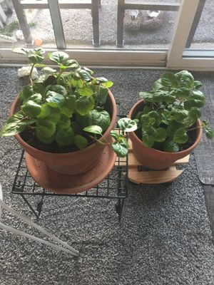 Creeping charlie house plant for Sale in Murray, UT