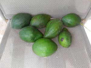 Avocados for Sale in Vero Beach, FL