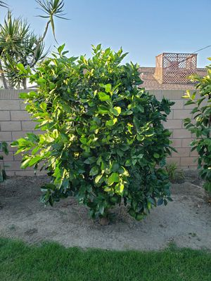 Grapefruit tree for trade for Sale in Huntington Beach, CA