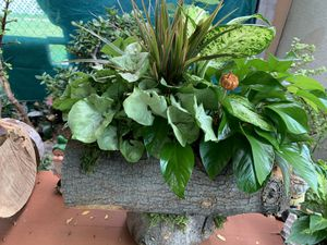 Plants de sombra en tronko for Sale in Bell Gardens, CA