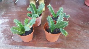 "Lifesaver cactus - 2"" pot rooted plant for Sale in Orlando, FL"