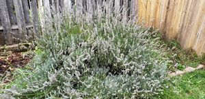 Free Lavender for Sale in Vancouver, WA
