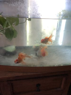 Fancy goldfish tank ON HOLD for Sale in Alta Loma, CA