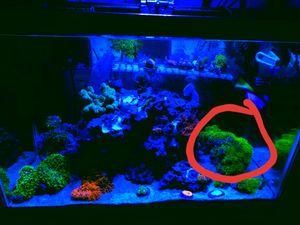 Polipo estrella coral for Sale in Ontario, CA