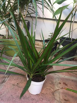 Dracaena False Palm plant tropical houseplant for Sale in Santa Ana, CA