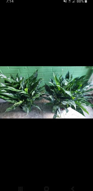 Medium emerald beauty's for Sale in Clinton, MD