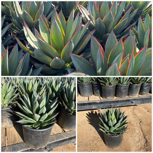 Blue glow agaves sale for Sale in Perris, CA