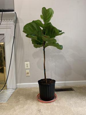 Fiddle leaf fig plant for Sale in Ashburn, VA